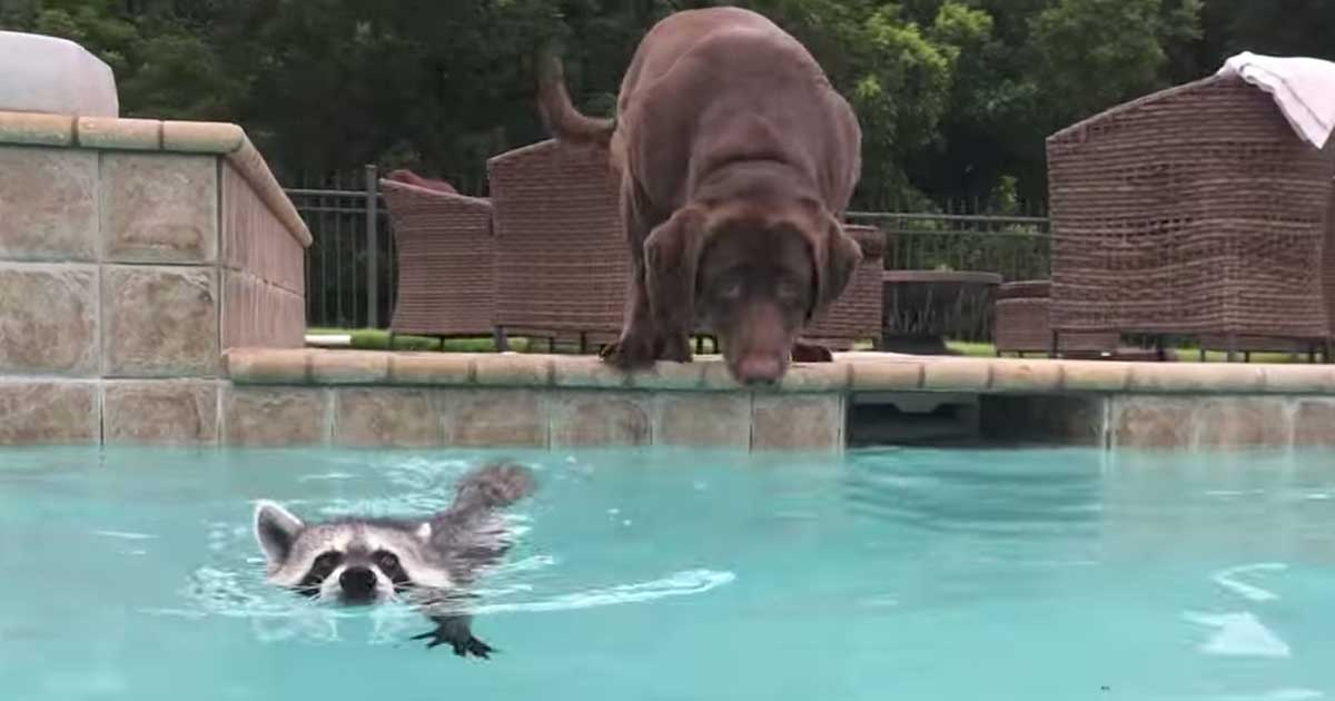 Dog And Raccoon Play In The Pool