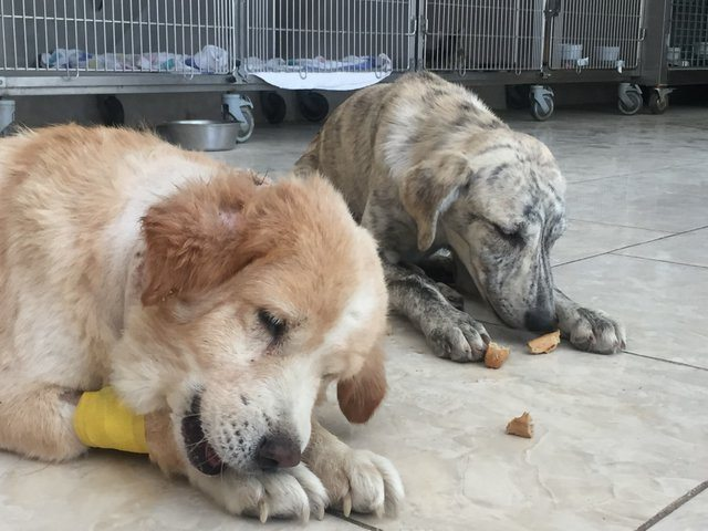 Nesha still can't walk normally, but the cofounder of Nowzad, Hannah Surowinski, assures us that Nesha manages to keep up with her fellow puppy friends ...
