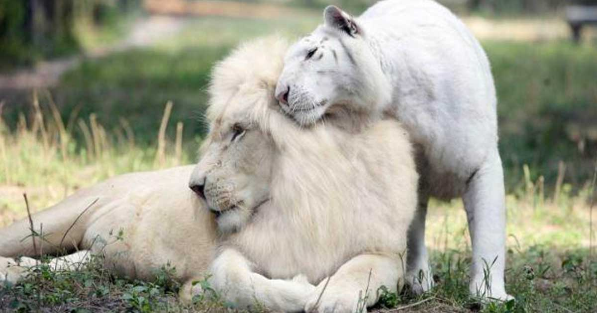 White Lion And White Tiger Have Babies Together | 1200 x 630 jpeg 55kB