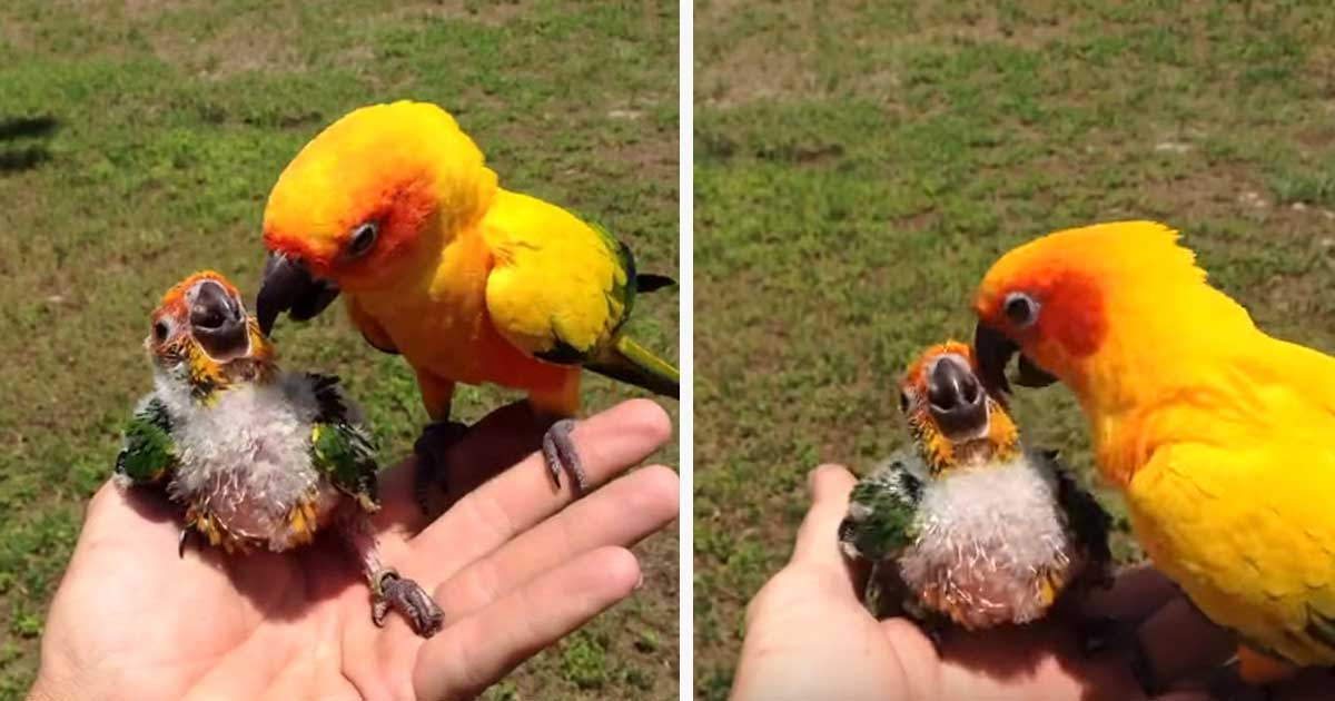 Mother Parrot Dies Now Watch As Dad Learns How To Feed Baby Himself