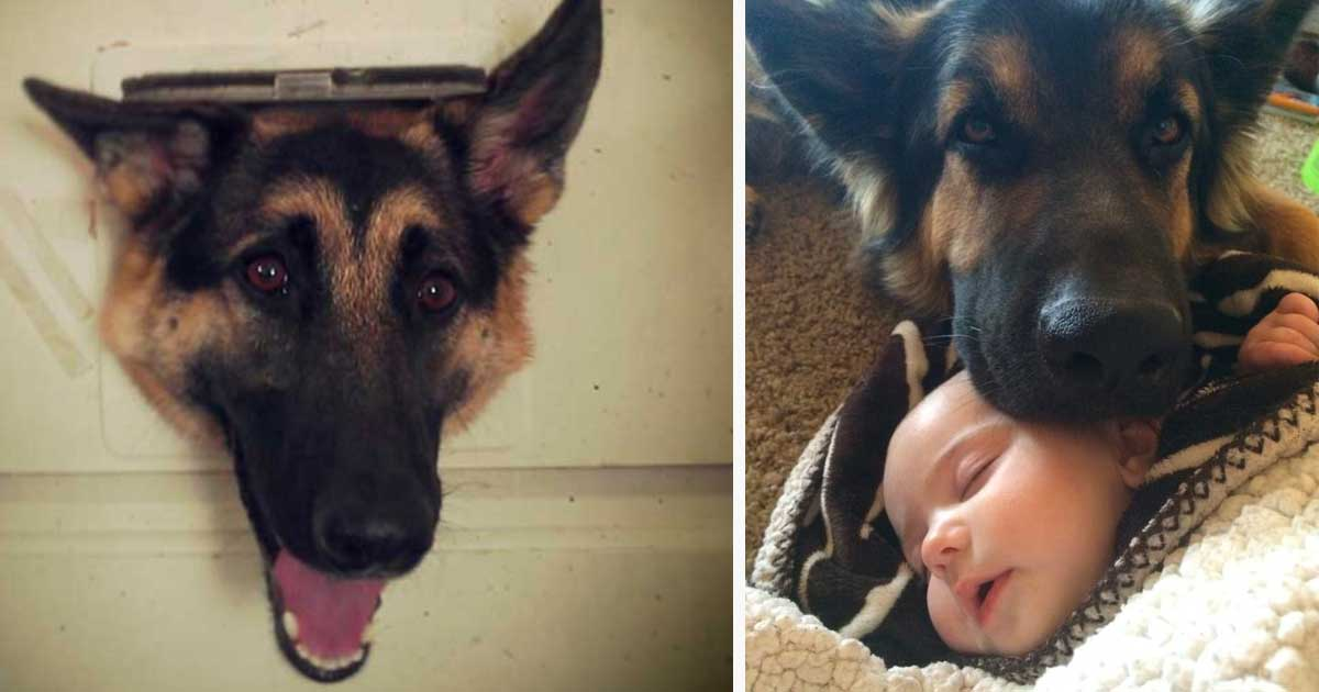 German Shepherds Make Horrible Family Dogs. Here Are 10+ Reasons Why