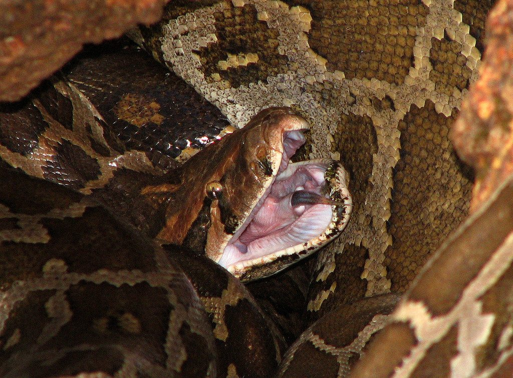 Woman Sleeps With Python Every Night  Then He Stops Eating And Vets