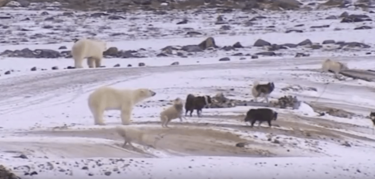 Wild Encounters Polar Bear Waiting For the Ice Movie HD free download 720p