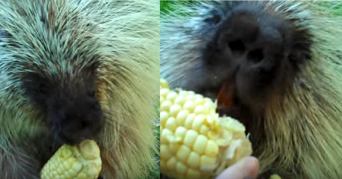 Cows eating corn from a feeder. Farm animals. Agriculture ... |Farm Animals Eating Corn