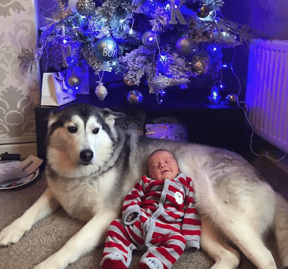 Husky Gently Cuddles With Newborn Baby