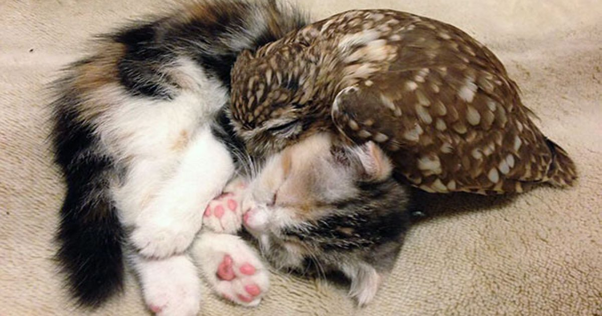 Kitten And Owl Are Best Of Friends, And Their Photos Will Melt Your Heart