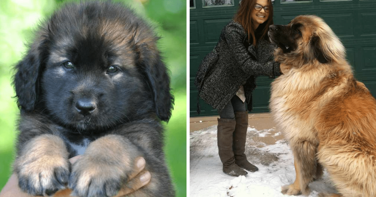 15 Breeds That Are Tiny As Puppies But Grow Up To Be Absolutely Massive