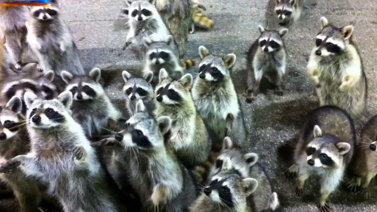 Guy Feeds Army Of Raccoons