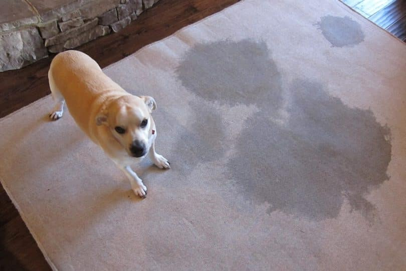 If You Clean Dog Stains Wrong It Will Happen Again Dog