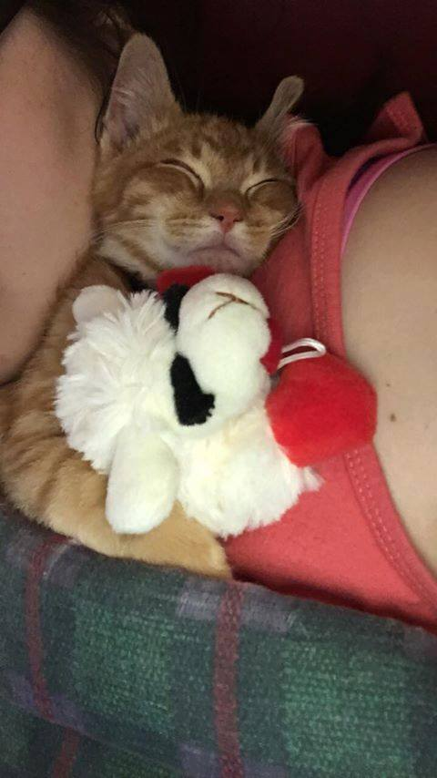 Kitten Who Misses His Sister Won't Stop Crying Kitten Who Misses His Sister Won't Stop Crying kitten holding stuffed animal sleeping