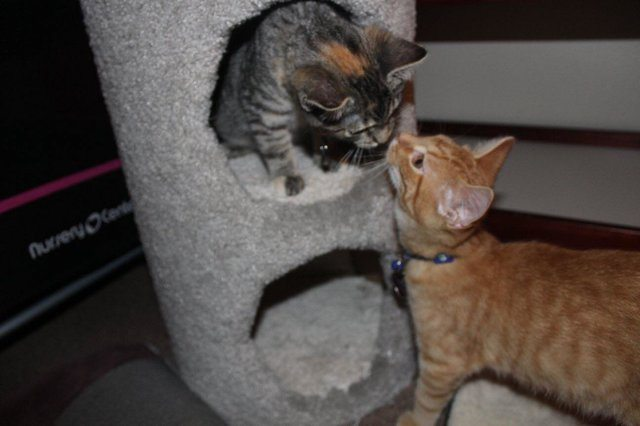 Kitten Who Misses His Sister Won't Stop Crying Kitten Who Misses His Sister Won't Stop Crying two kittens play in cat tree
