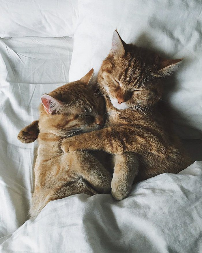ginger-cats-cuddling-bed