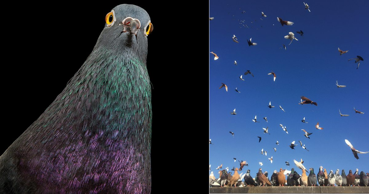 photograph-captures-stunning-portraits-of-nyc-pigeons