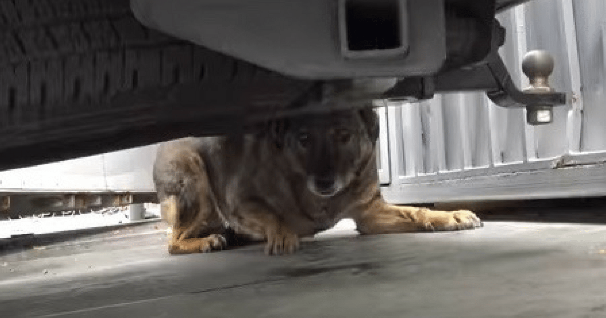 Scared German Shepherd Hides, Cries Like A Human Until Rescuers Show Her What Love Looks Like