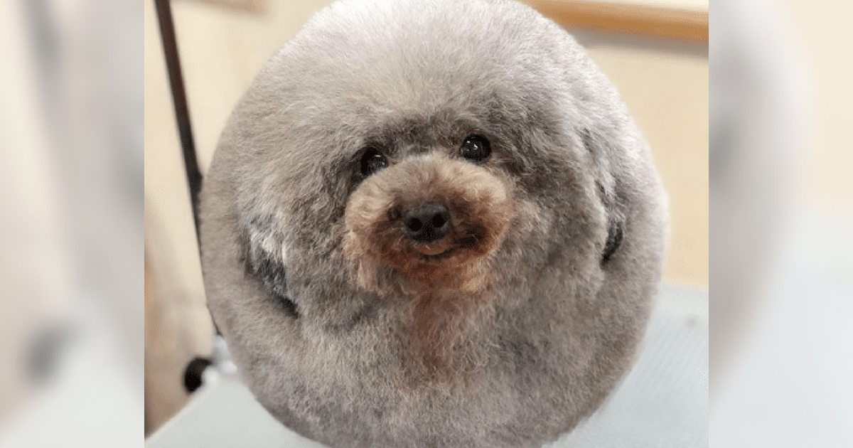 Owner Drops Dog Off At Groomer, Comes Back To Find Their Dog Has Turned Into A Fluffy Cloud