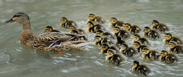 ducklings-and-mom