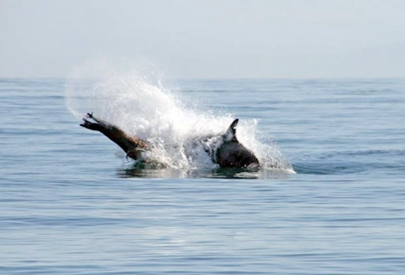 whales-save-sea-lion