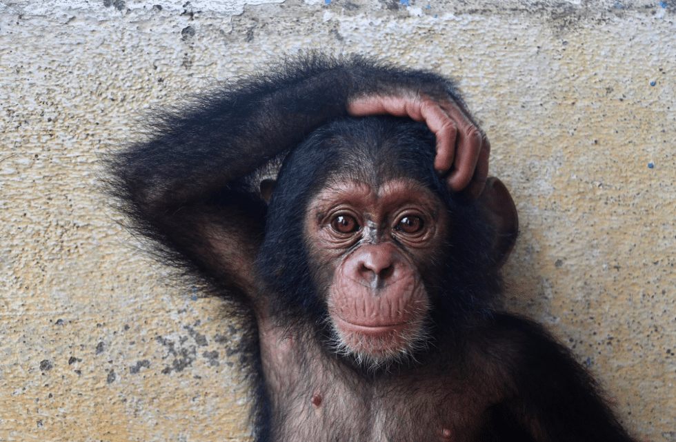 Baby Chimp Loses Family, Finds New Home In A Sanctuary