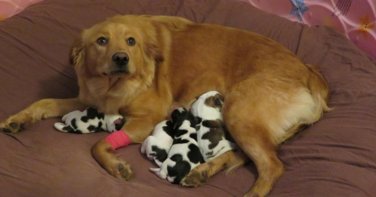 pregnant-rescue-dog-gives-birth-to-baby-cows