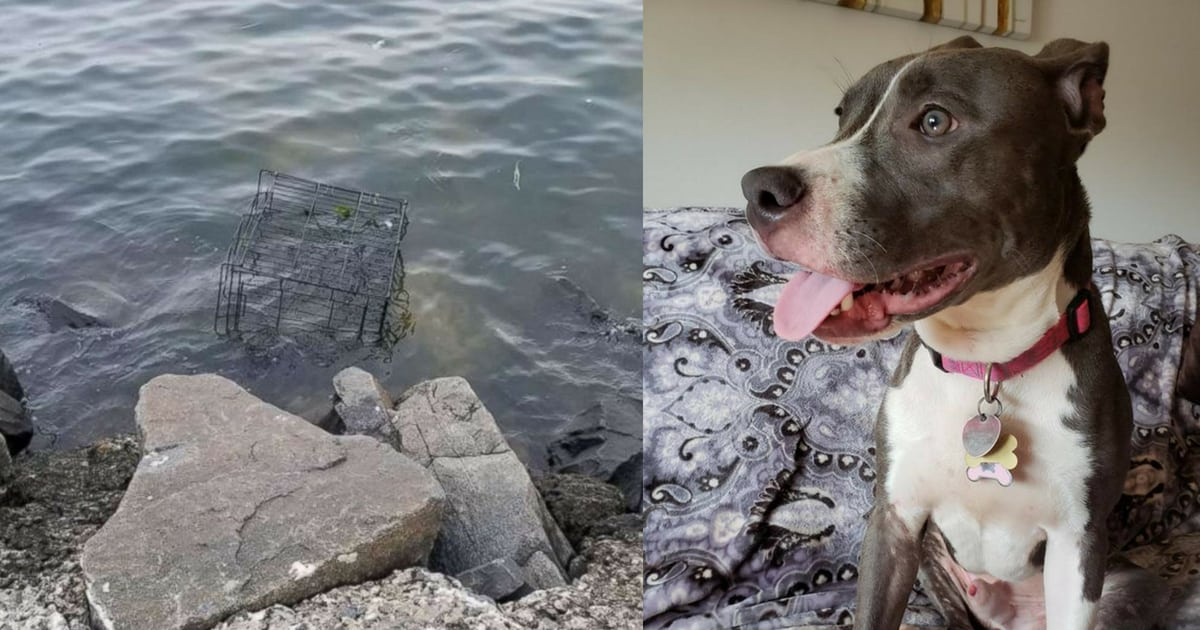 pit-bull-left-to-drown-in-cage-left-by-the-rising-tide