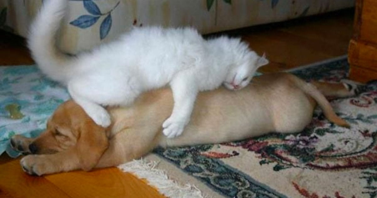 35+ Hilarious (And Adorable) Times We Caught Cats Sleeping On Dogs