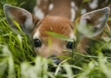 white-tailed-fawn