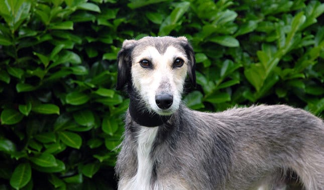 lurcher-dog-beautiful