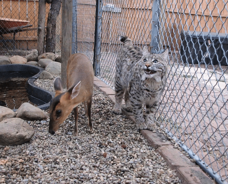 benji-the-bobcat-athena
