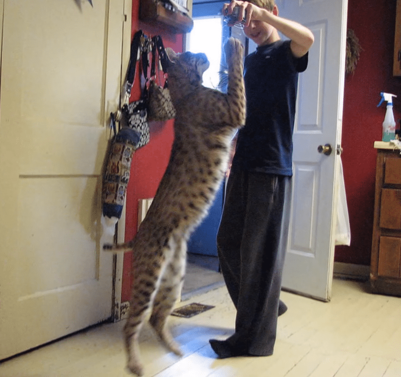 benji-the-bobcat-standing-up