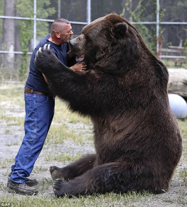 giant-brown-bear-and-trainer