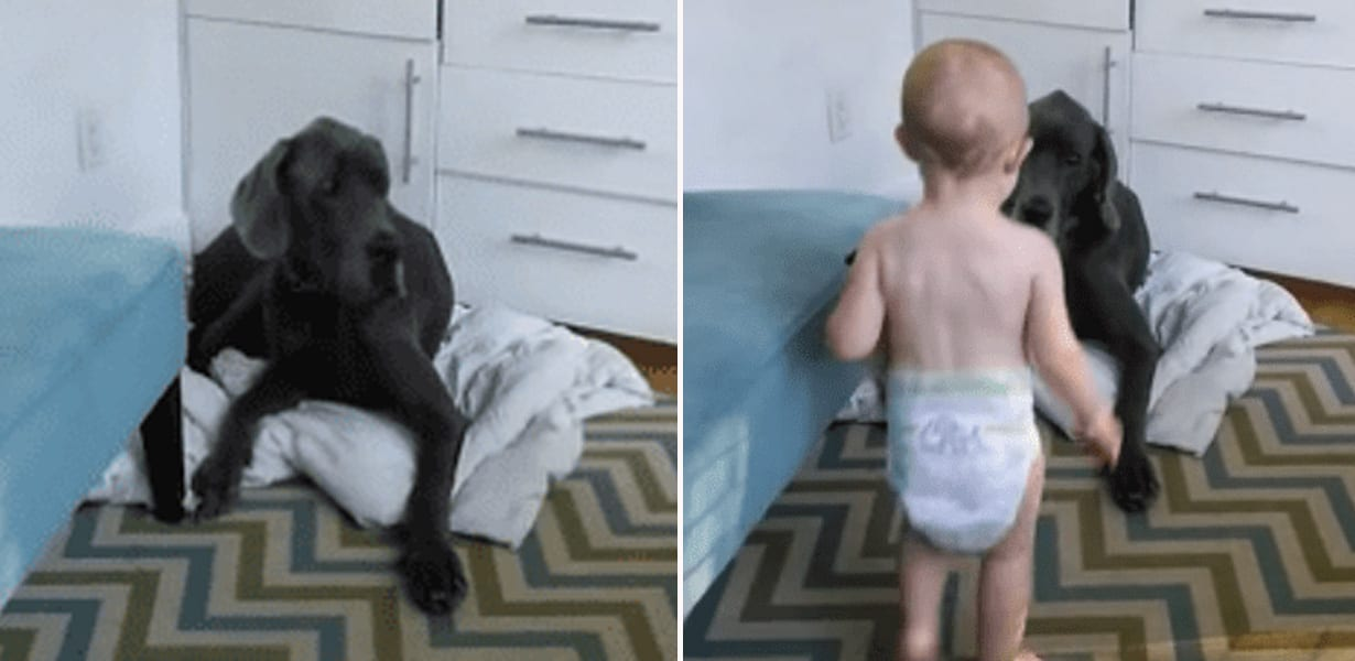 https://rumble.com/v2zooh-baby-teaches-great-dane-who-is-in-charge.html