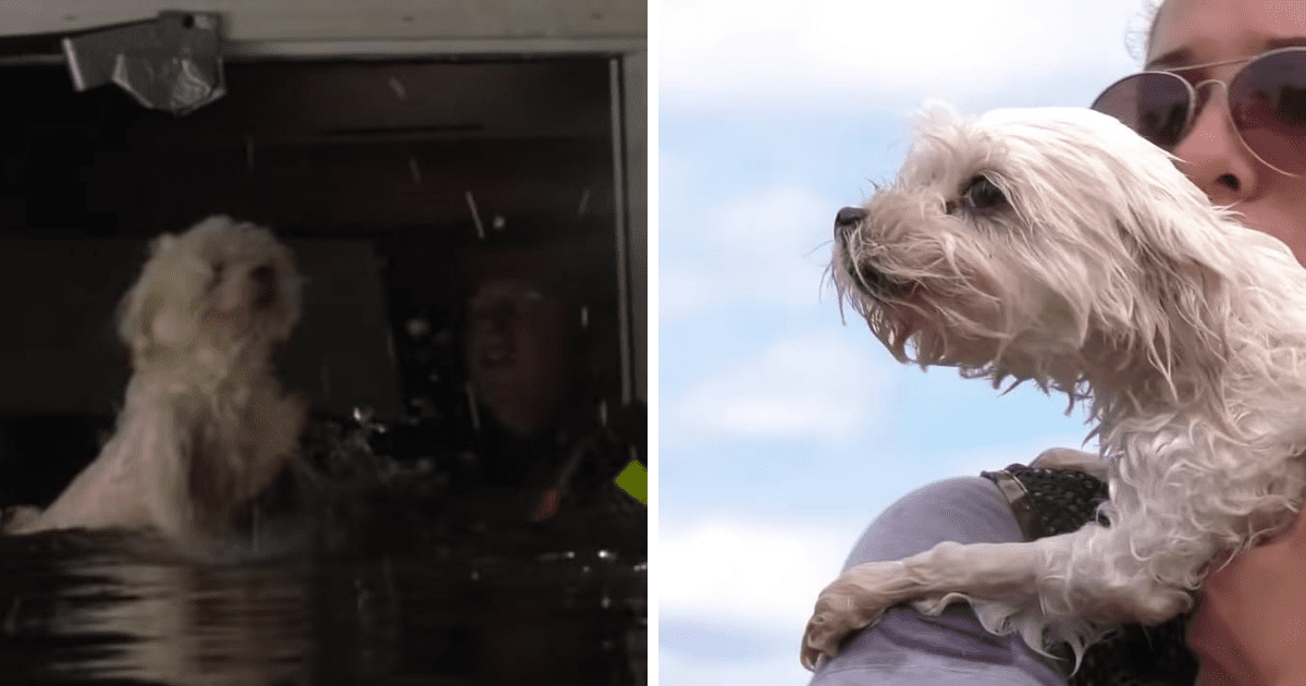 Poor Dog Rescued After Spending An Entire Week Floating On A Couch After Hurricane
