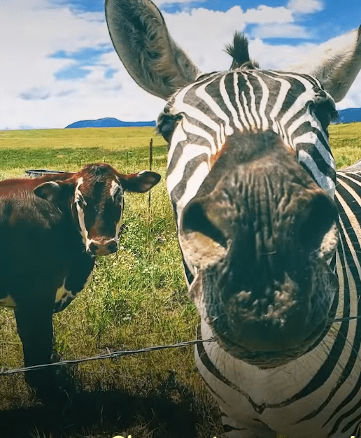 zebra-finds-new-herd-mystery-cows