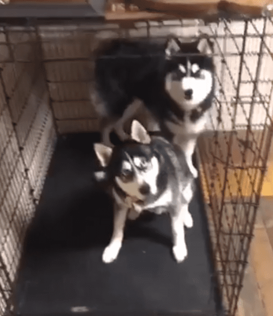 husky-blames-brother-poop