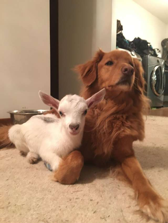 dog-and-goat-cuddle-arnold-drake