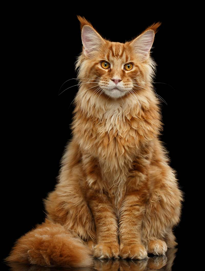 8 Fun Facts You Didn T Know About Ginger Tabby Cats