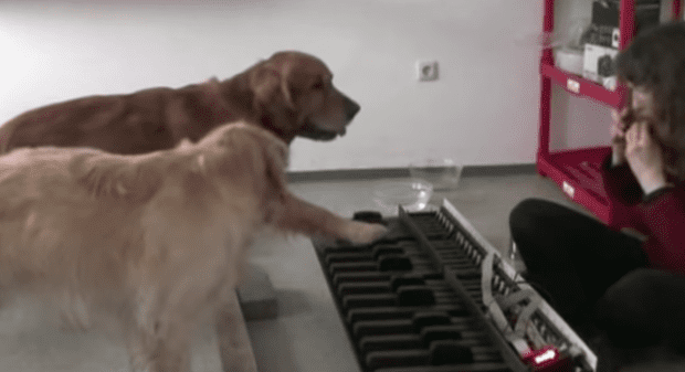 dogs-play-piano