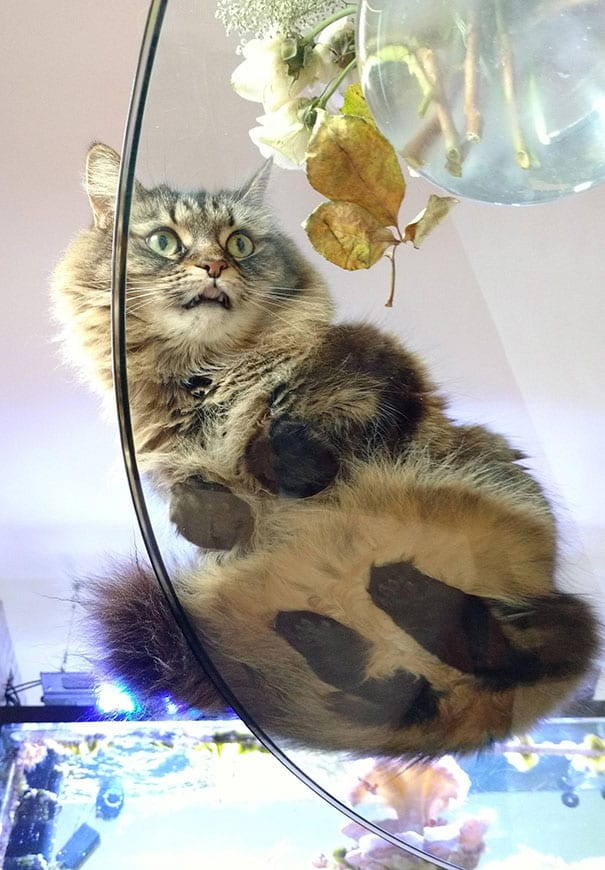 35+ Hilarious Photos Of Cats On Glass Tables