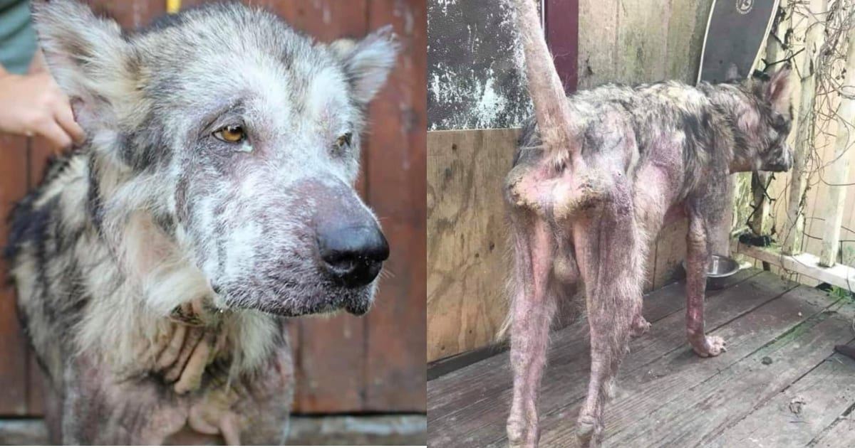 neglected-dog-recovers-and-looks-like-a-whole-new-dog