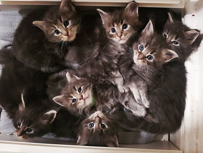 45 sweet Maine Coon kittens