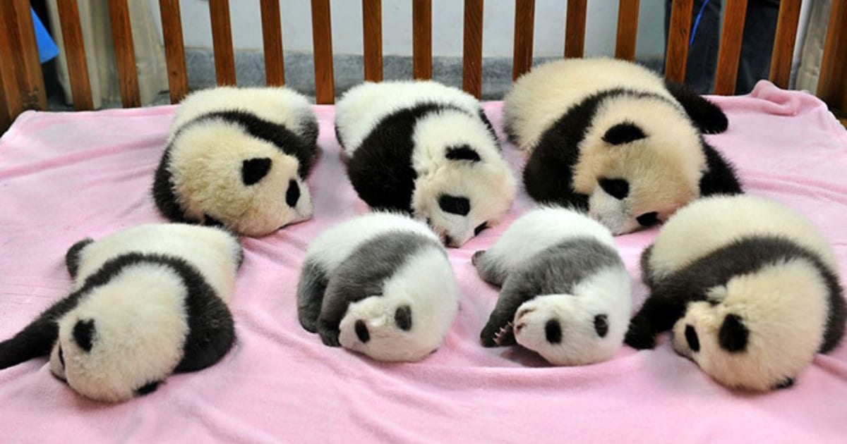 You-Can-Visit-A-Giant-Panda-Daycare-Facility-In-China