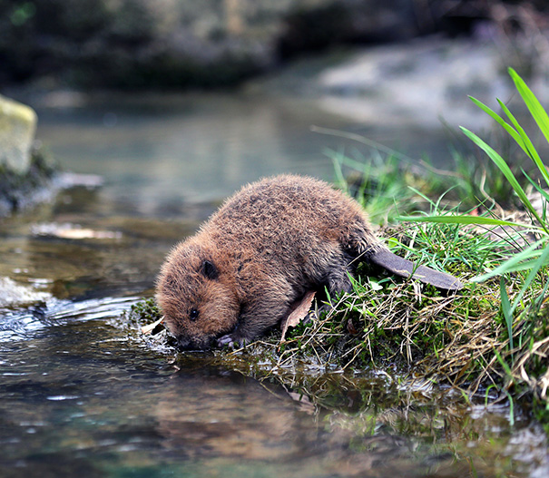 55 Baby Beavers So Cute They Will Make Your Heart Melt
