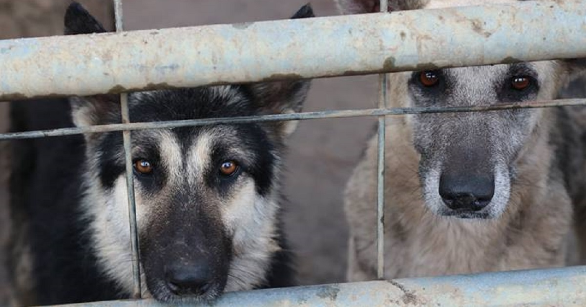 450 German Shepherds Rescued From Hoarding Situation