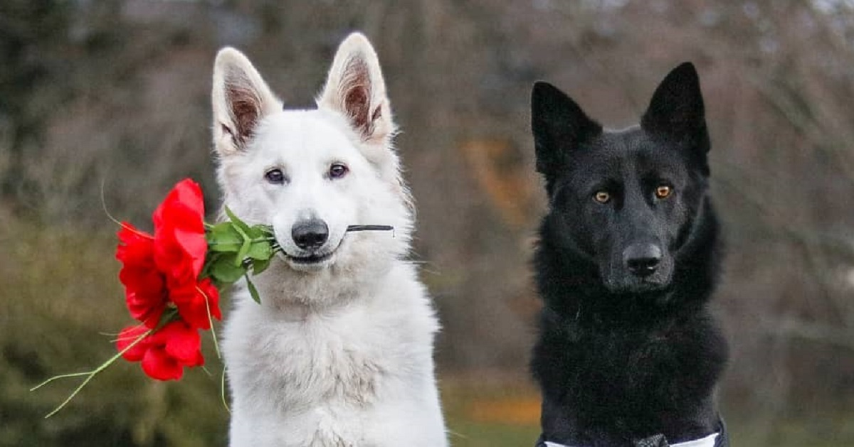 These German Shepherd Wedding Photos Are Perfect