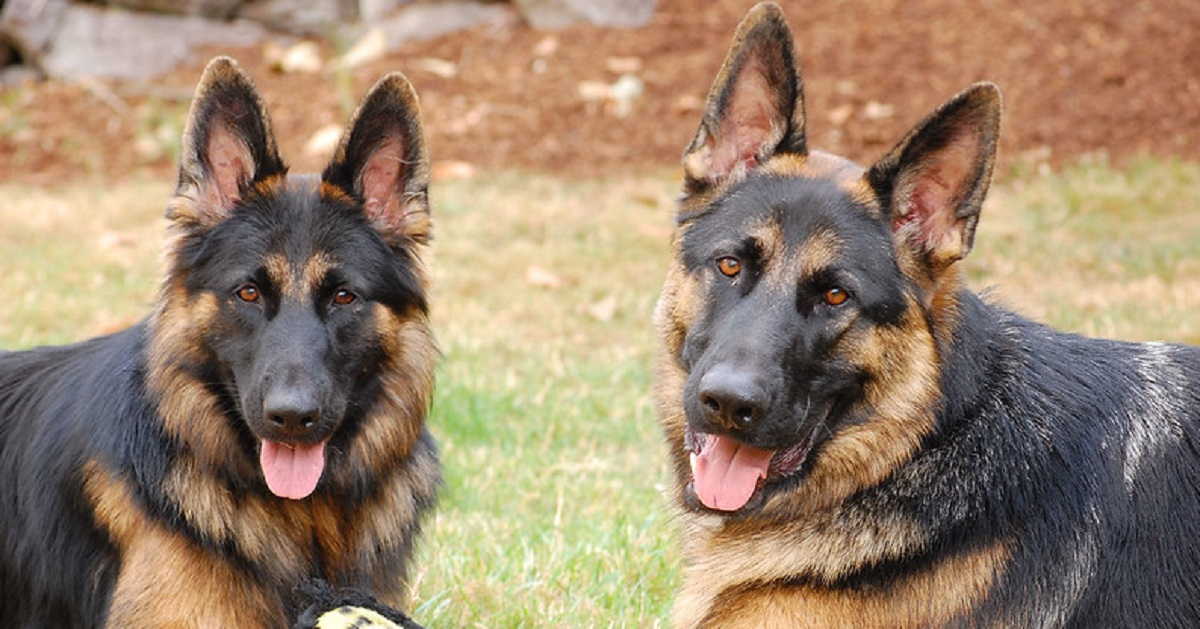 10 Reasons To Never Trust A German Shepherd