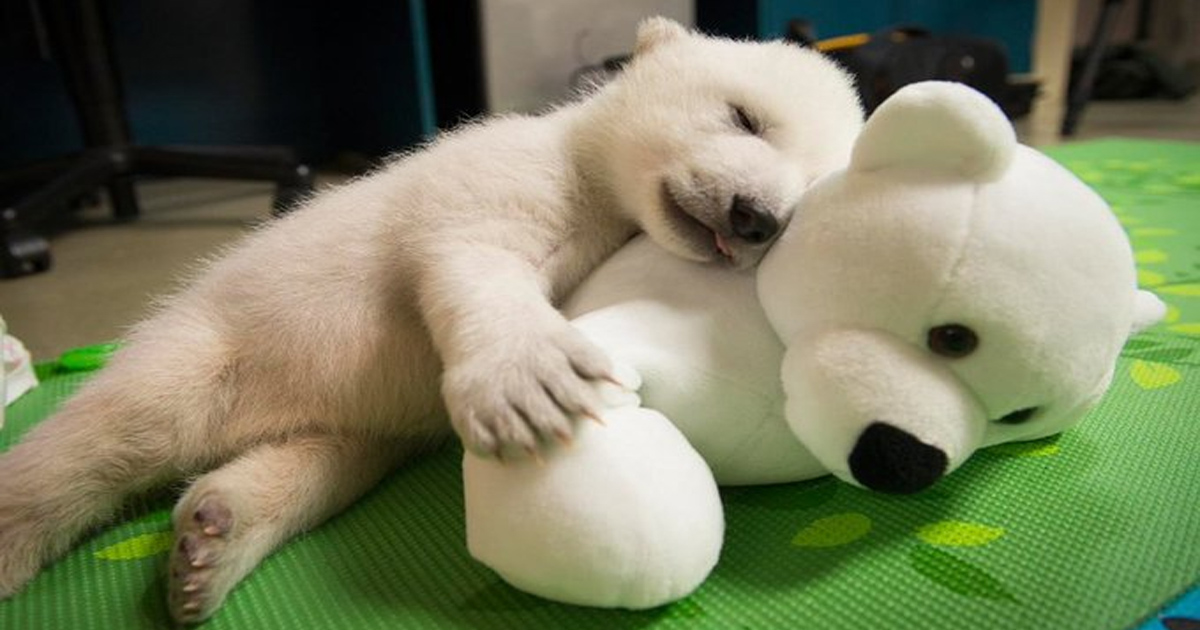 https://www.onegreenplanet.org/animalsandnature/snoozing-polar-bear-cub/