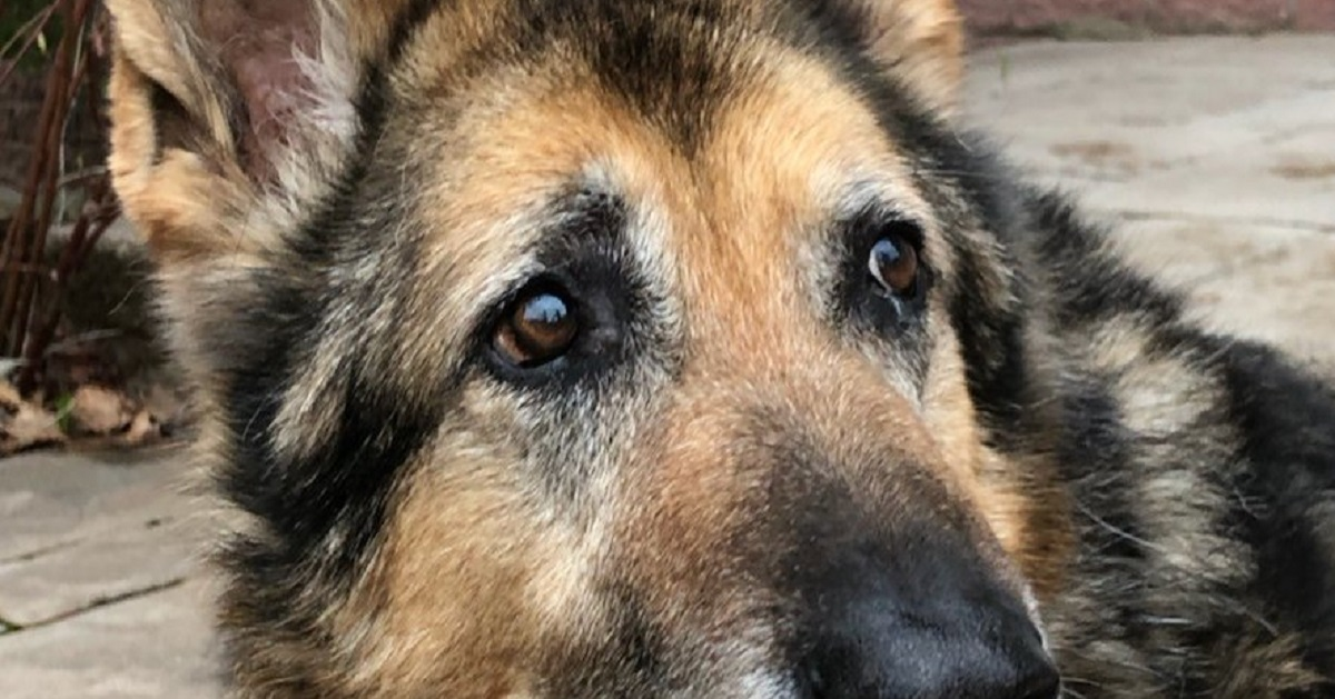 Rest In Peace, Axle – 14-Year-Old Veteran Police Dog Passes On