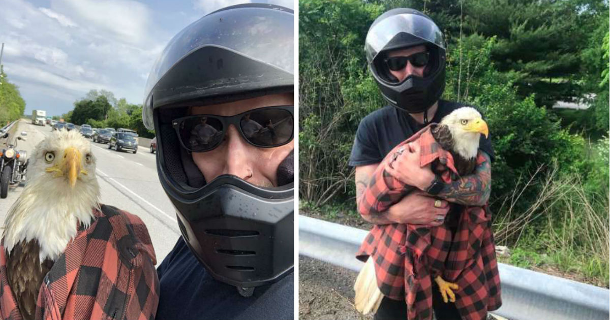 Motorcyclist Rescues Injured Bald Eagle Trapped On Highway