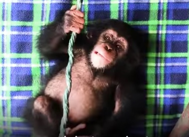 Woman goes undercover to save baby chimp – says 'thank you