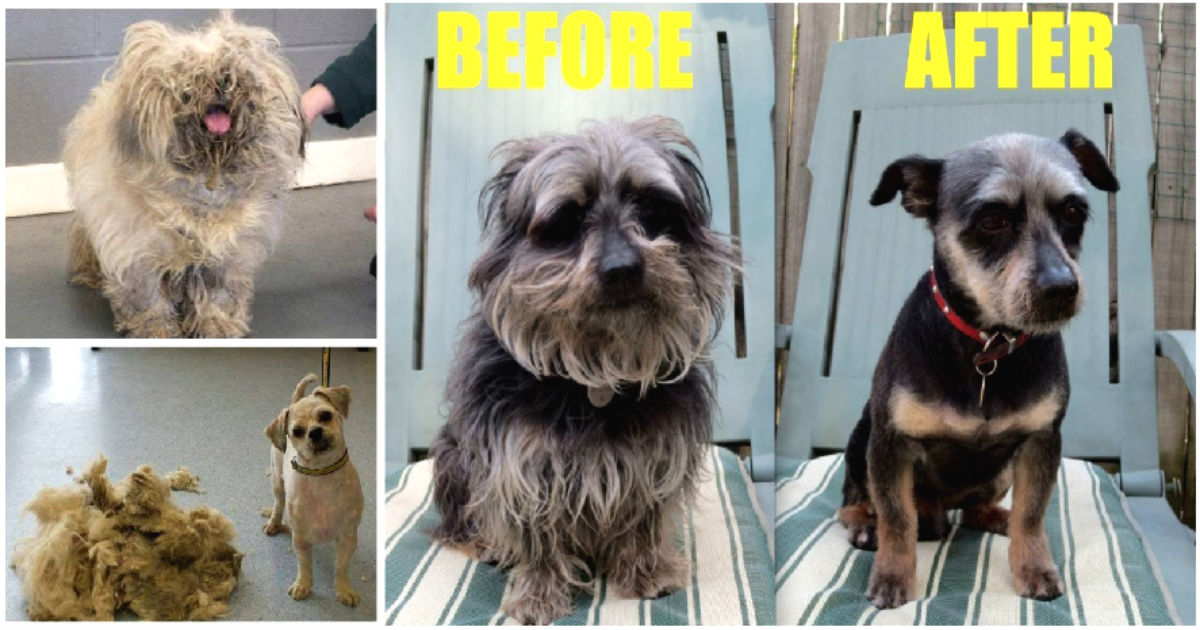 65 incredible before and after dog grooming transformations